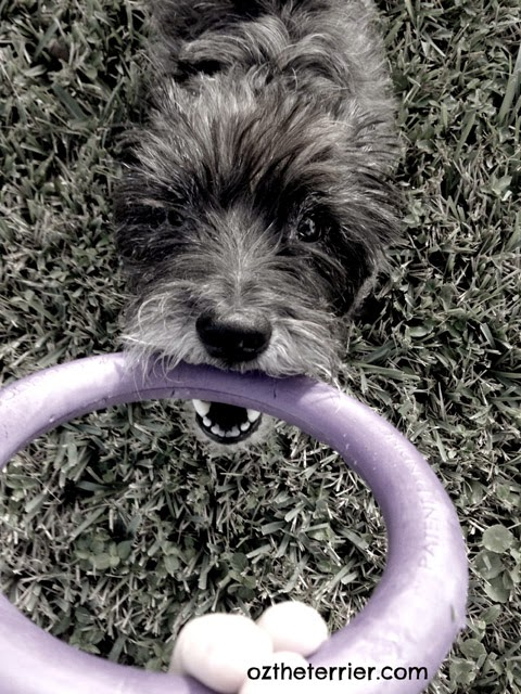 Oz the Terrier plays tug with his new PULLER interactive device for dogs