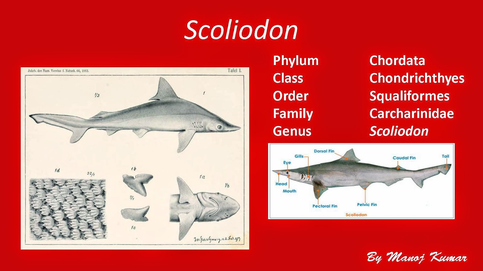 Shelford tutorials digestive system of scoliodon digestive system of scoliodon ccuart Image collections