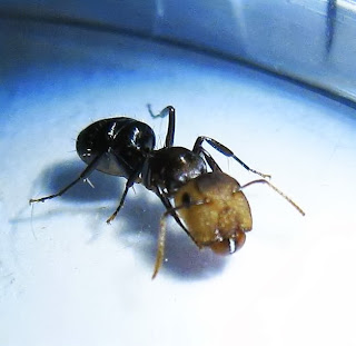Major worker of Camponotus bedoti