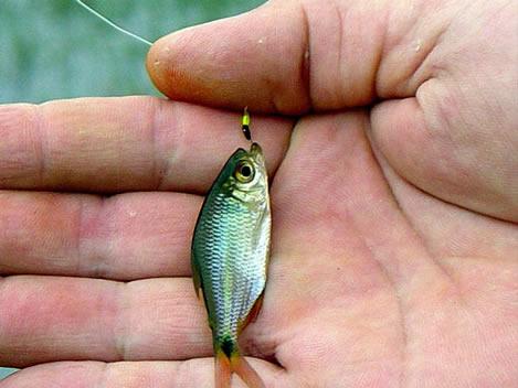 peixe-lambari.jpg