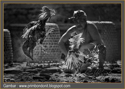 Tajen, Sabung Ayam Bali - endrone.blogspot.com