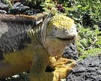 Iguana Sante Fe Island, Galapagos Islands, Ecuador