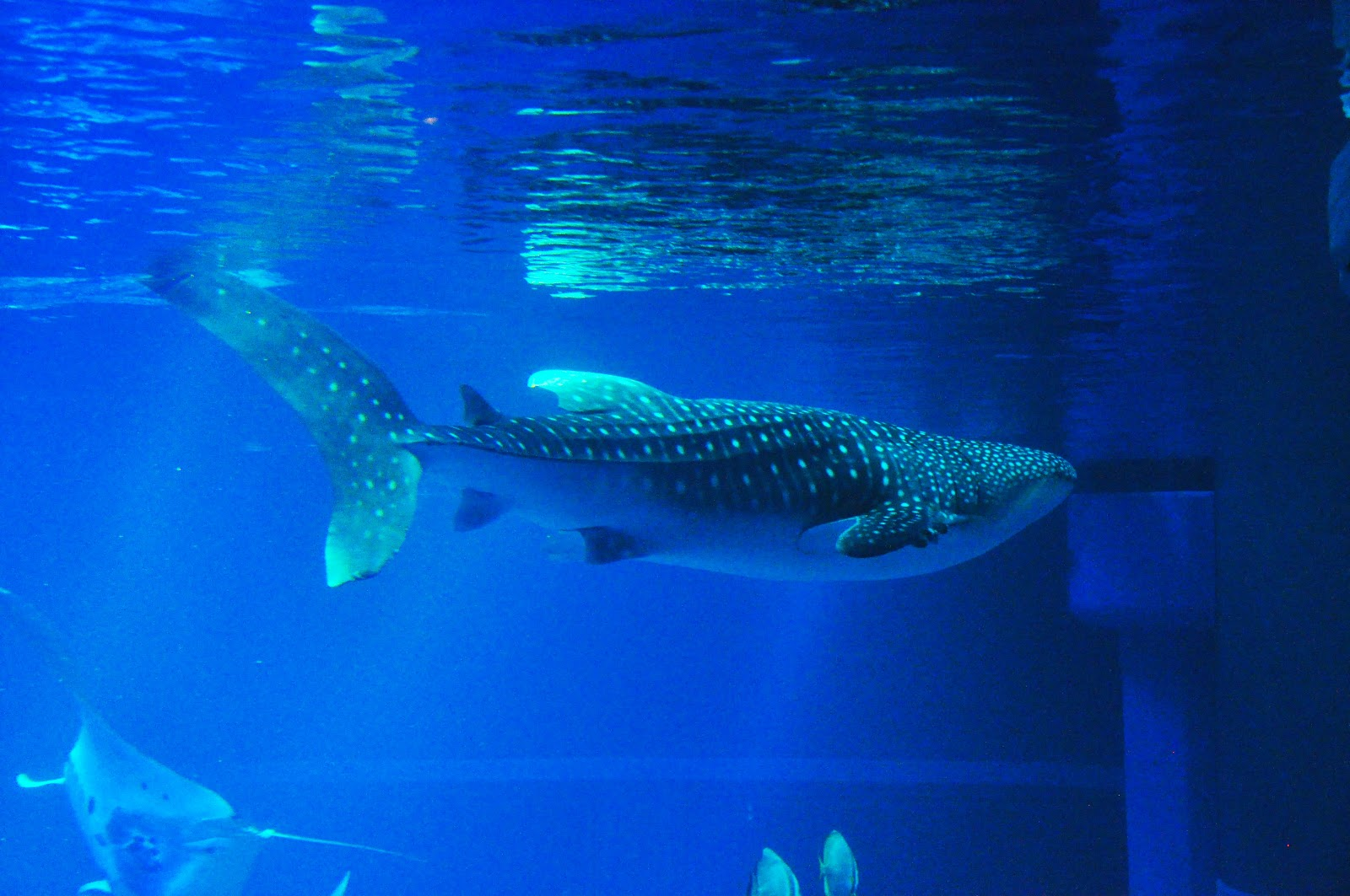 Viewing Gallery For - Baby Whale Shark Whale Shark Size
