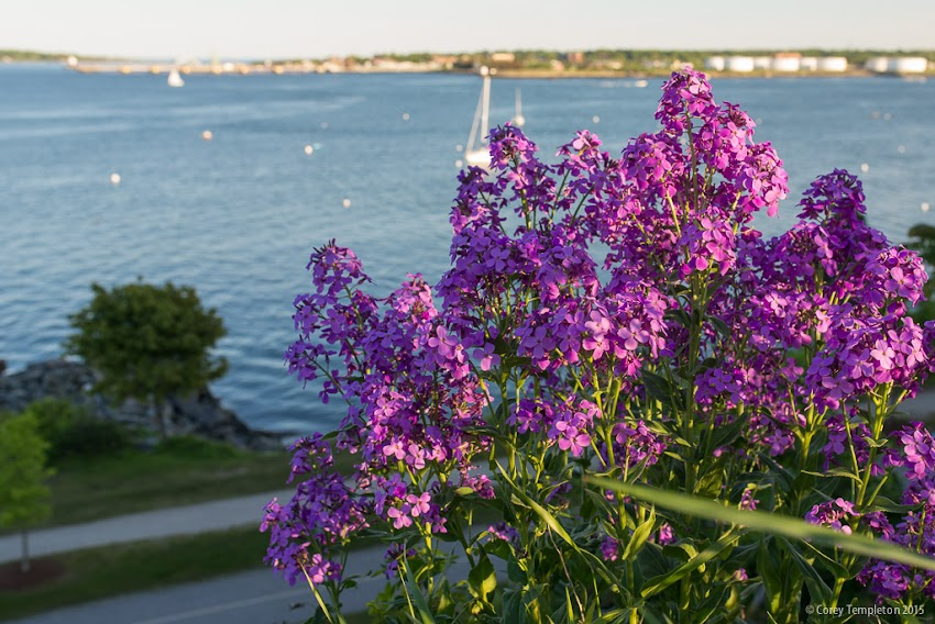 Portland, Maine Summer June 2015 Fort Allen Park flowers over harbor photo by Corey Templeton.