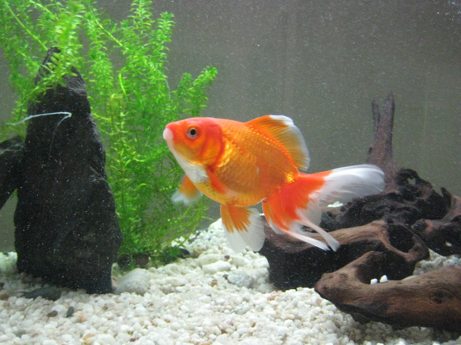 Catherine South: The Color Changing Goldfish
