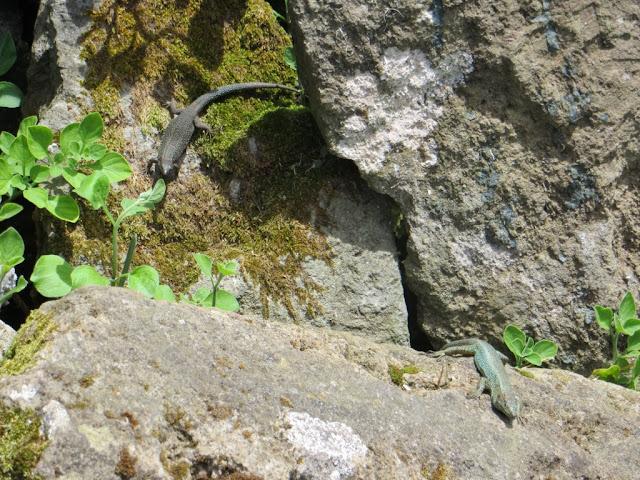Lagartixas ao Sol em parede de pedra no norte da Ilha Terceira