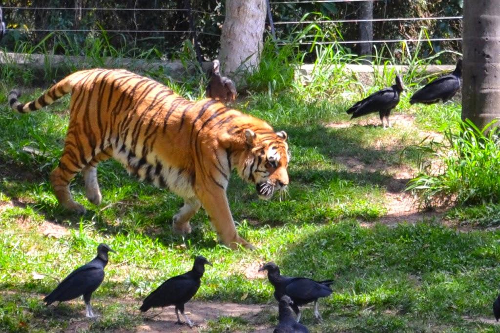 Tigre de bengala do Zoológico de São Paulo