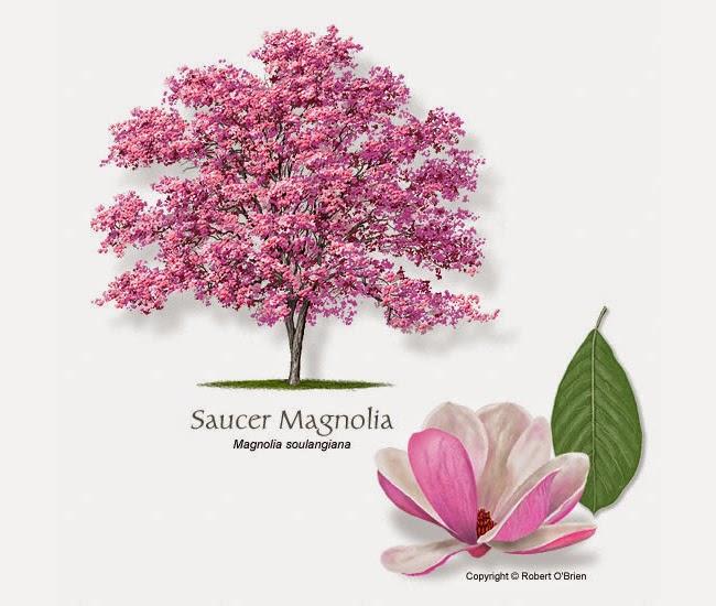 http://selectree.calpoly.edu/Photos/Magnolia_soulangiana/images/MAGNOLIA_SAUCER-ro.jpg