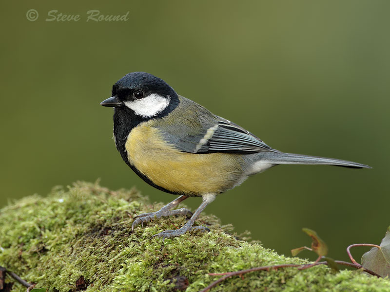 bird, great tit, nature, wildlife