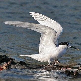 aves de argentina Sterna sandvicensis