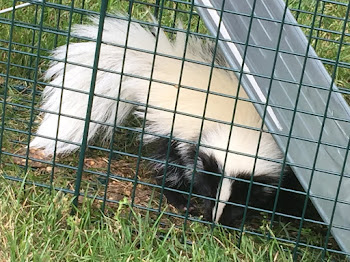 World Exclusive: Skunk Trapped on Mullin Street