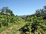 Vinyes de Cal Magre. Autor: Carlos Albacete