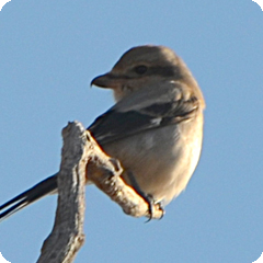 NORTHERN SHRIKE SIGHTINGS