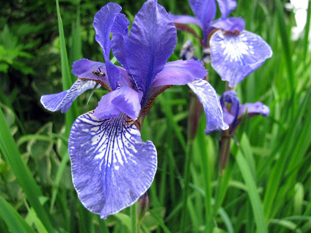 Blooming-Blue-Iris-With-Ant