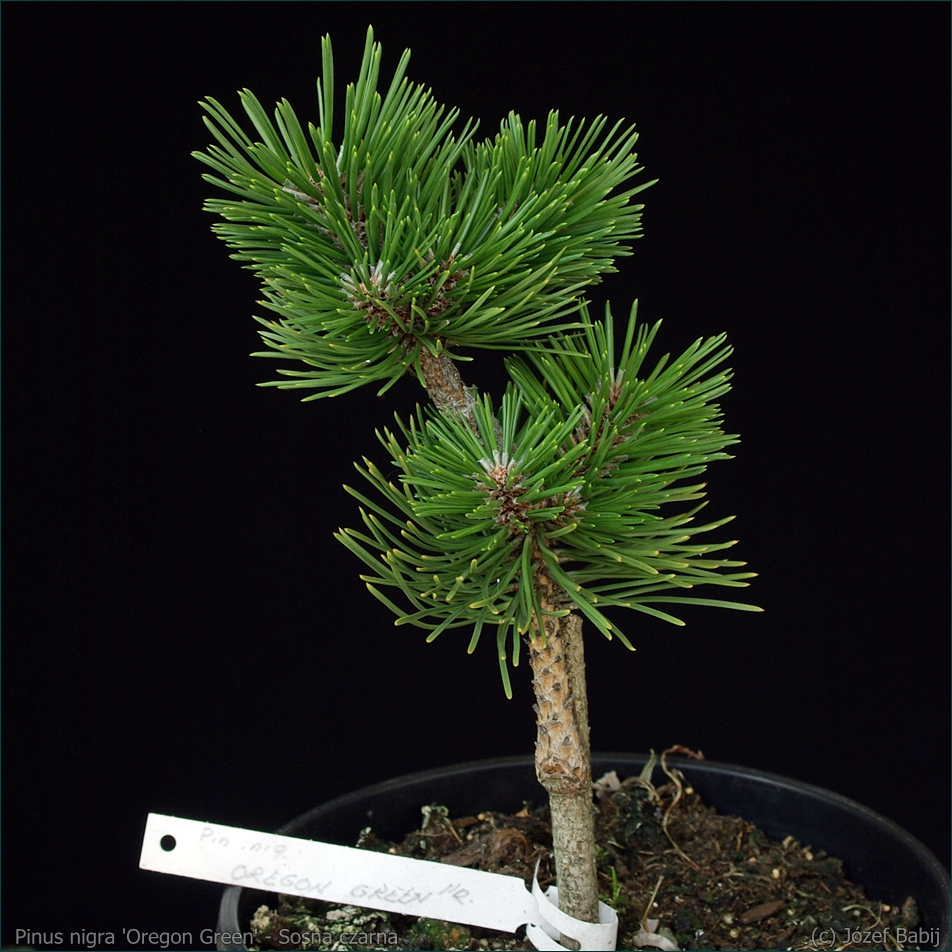 Pinus nigra 'Oregon Green' - Sosna czarna 'Oregon Green'
