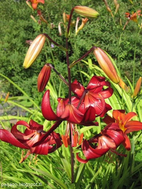 kesän loppu: lilja