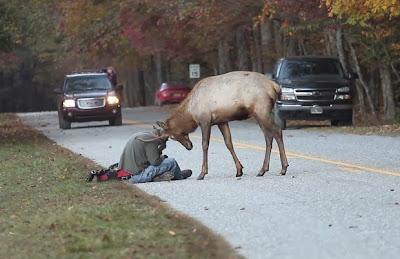 Elk Versus Man