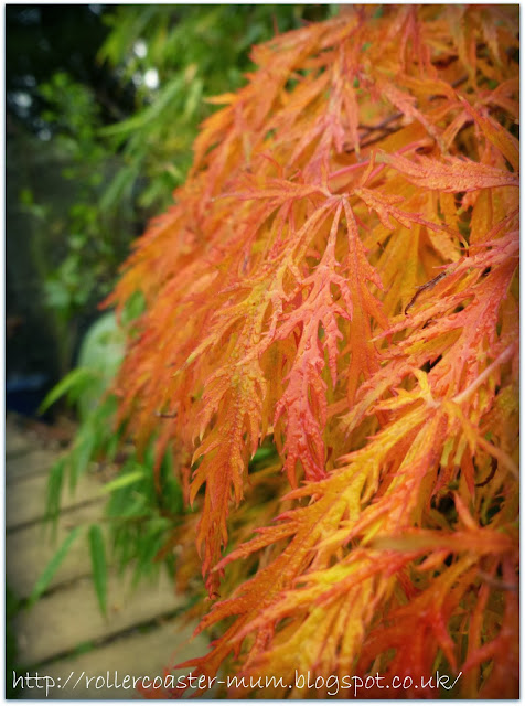 autumn orange colours on Japanese Acer