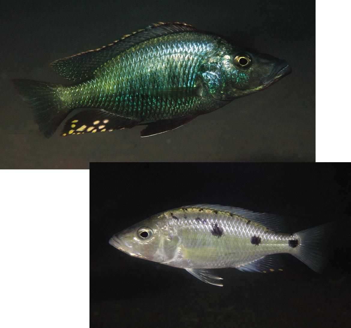 Stigmatochromis macrorhynchos s melanchros 2 new for New species of fish