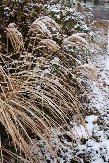 Dwarf Miscanthus 'Dixieland' in snowy garb.