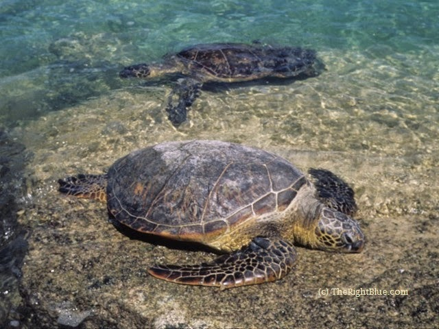 Green Sea Turtles in Hawaii
