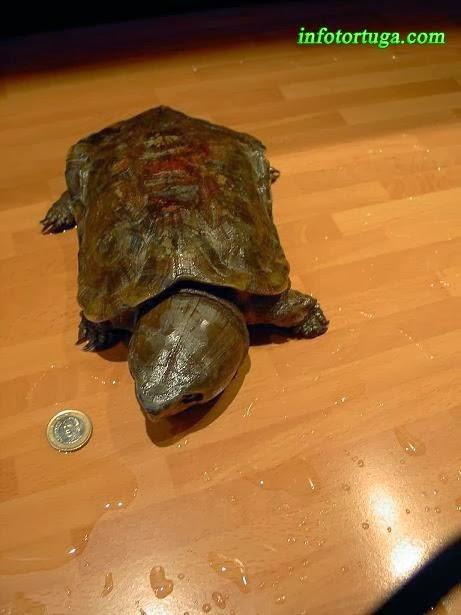 Platysternon megacephalum - Tortuga cabezona