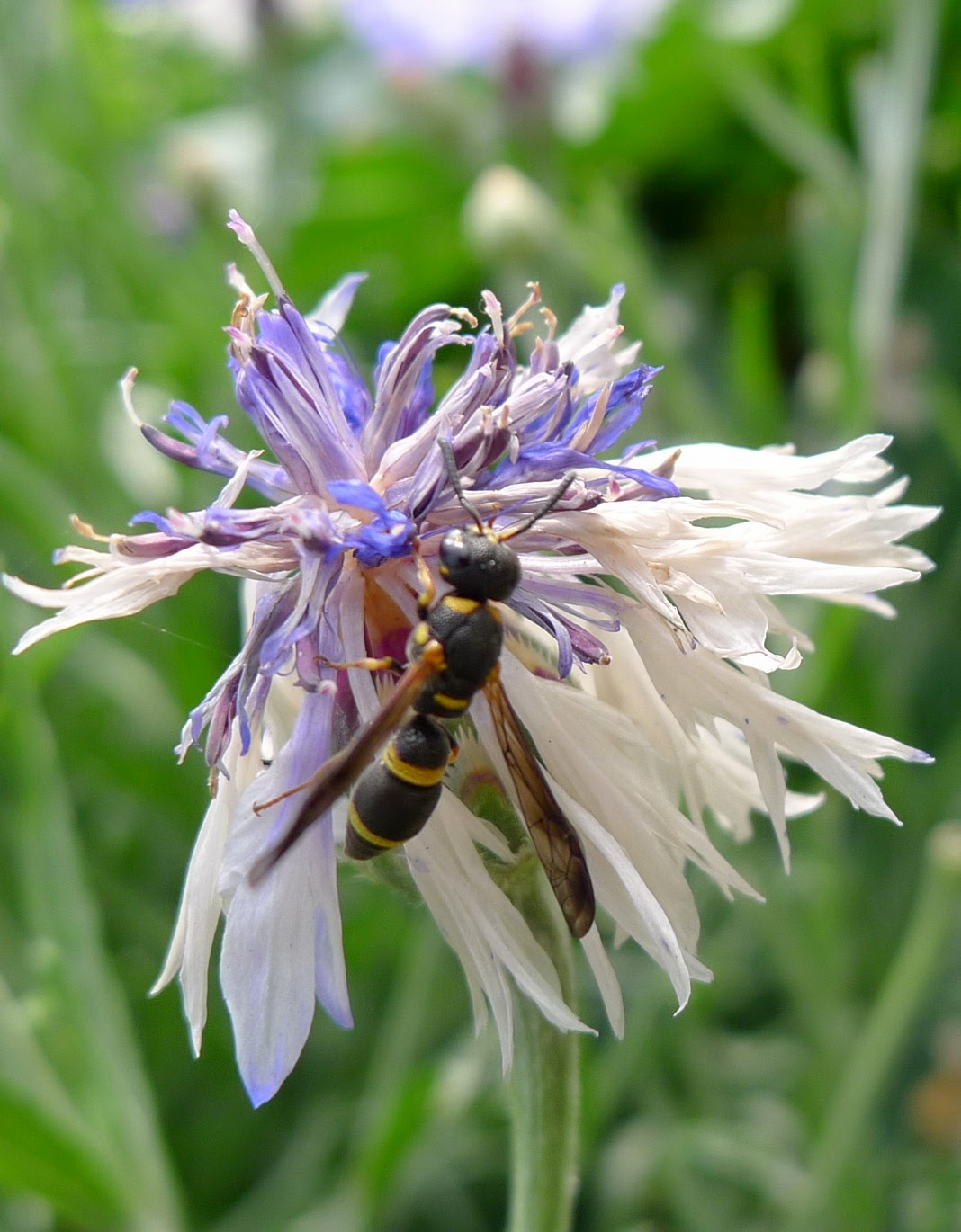 Wasp, pollinators, urban farming