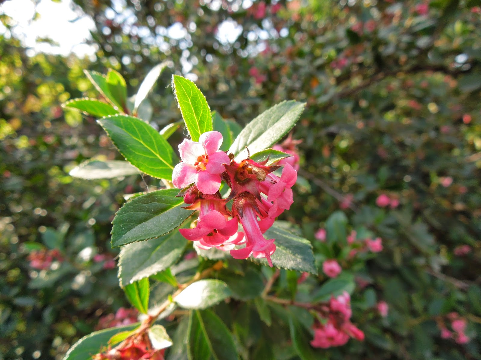 Dos arbustos ornamentales bot nic serrat - Arbustos perennes con flor ...