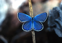 a royal blue butterfly with white edges sitting on a stick