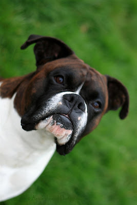 a brindle boxer dog