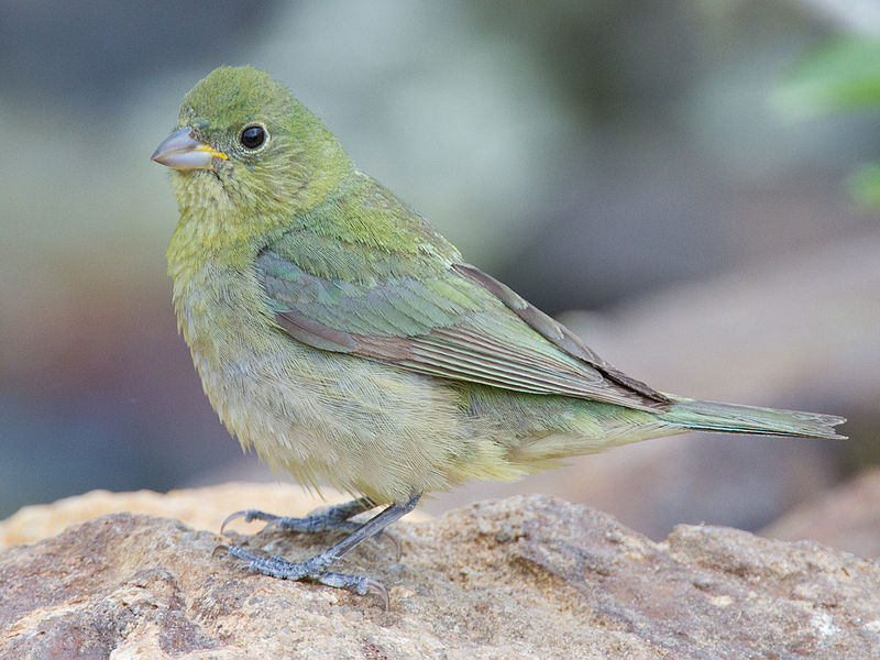 Female Painted Bunting Images