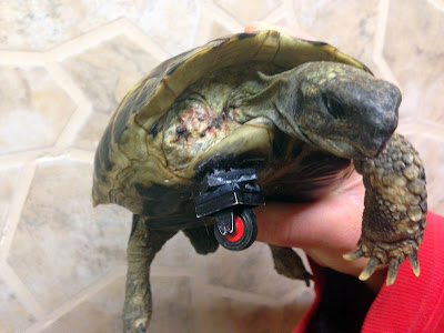 A person holds up a turtle with an artificial limb made of Lego bricks in Neuried, southern Germany. A first attempt to help the animal, that was found severely injured in a garden, failed, as the first prosthetis made of a Lego double-wheel prevented the turtle to corner.