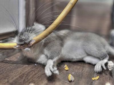 Rotte-'selvmord' med bid i elektrisk kabel