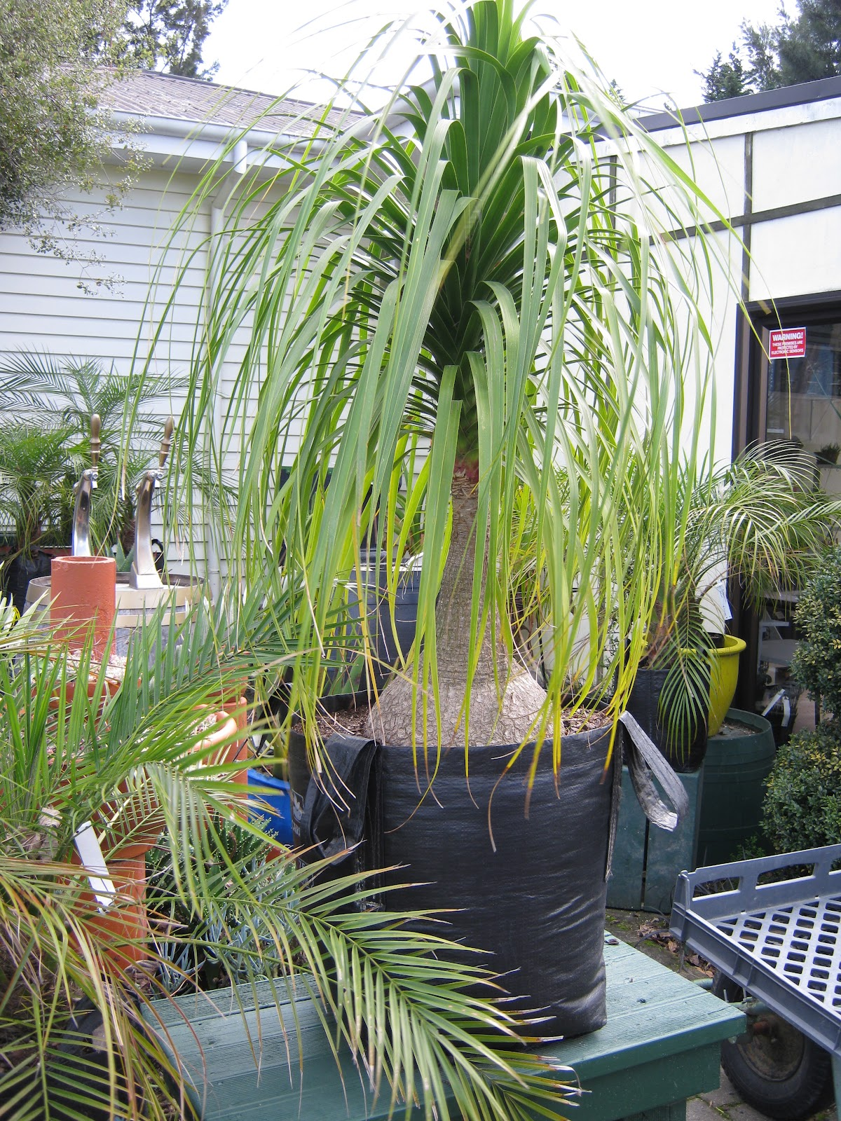 Adayinthelife a stroll around a little plant nursery for Ponytail palm cats
