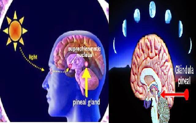 Resultado de imagen para cambios luz solar y glandula pineal
