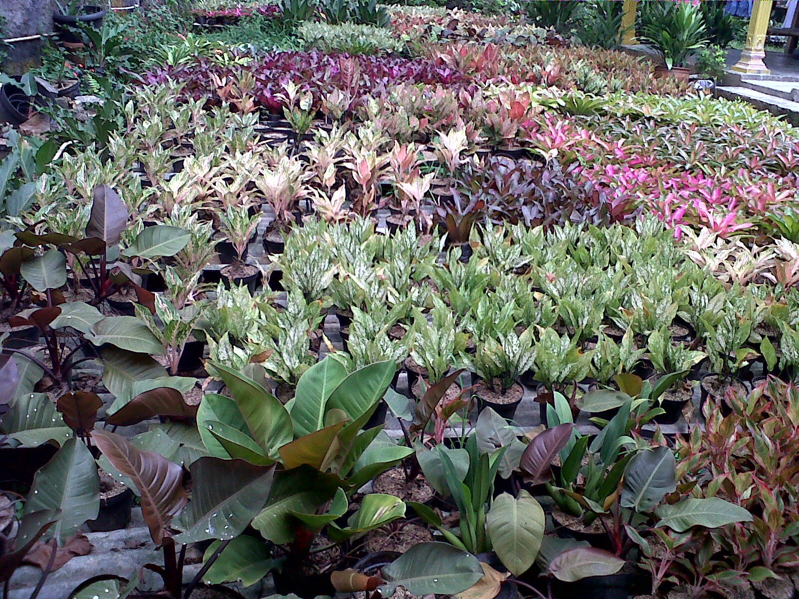 Jual aneka bromelia | Suplier tanaman hias | Jasa tukang taman | Renovasi taman