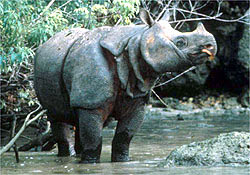 3 Javan%2BRhino %Category Photo