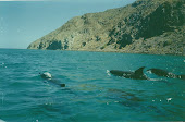 Playing with the Dolphins   Baja Mexico