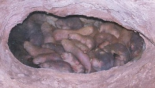 Naked mole rats huddling together in an underground burrow