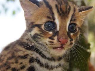 Foto Kucing Hutan Lucu