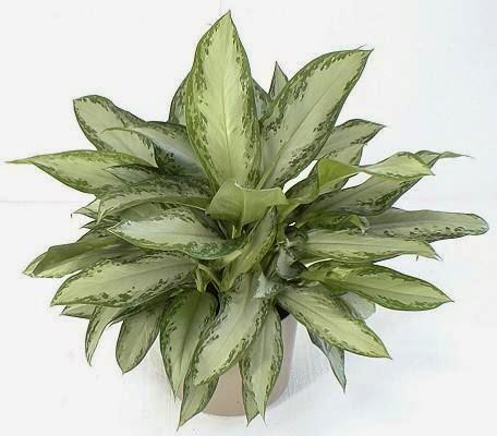 tanaman hias aglaonema