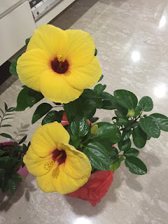 Yellow Hibiscus Plant