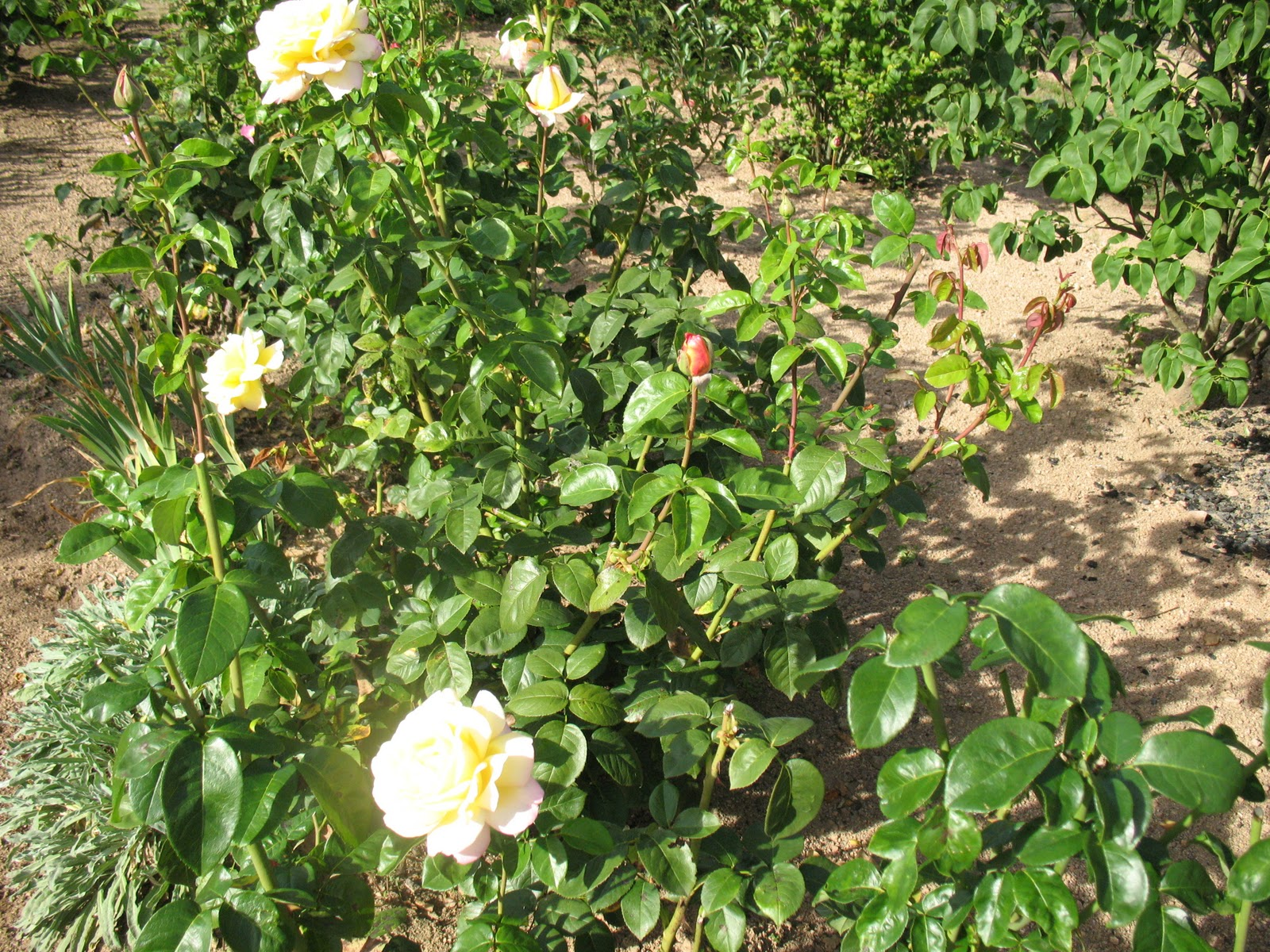 Roses du jardin ch neland hivernage des rosiers for Rosier grimpant pour mi ombre