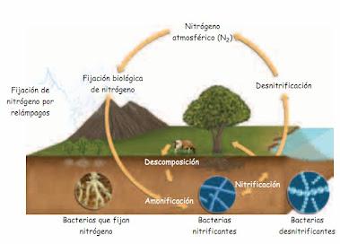 Etapas del ciclo del nitrógeno