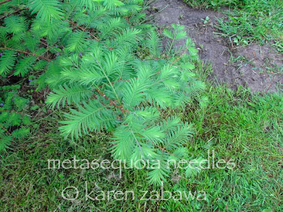 Closer look at the soft needles on metasequoia Dawn Redwood, BRG East Garden rhododendron shade tree., Port Credit.