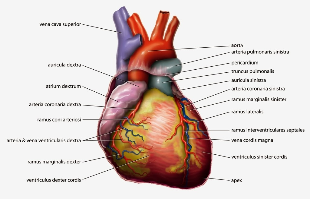 Fun and cool facts of human heart way2usefulinfo out of the all internal organs heart plays the vital role pumps the blood around our body through the blood vessels ccuart Gallery