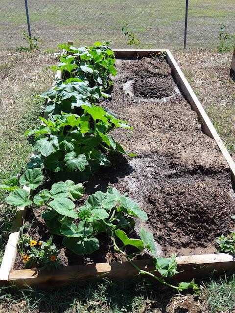 Rebecca\'s Texas Garden: Squash