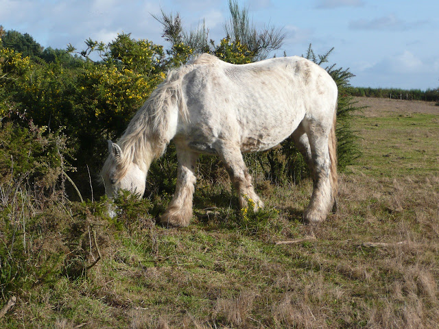 Les chevaux mulassiers dans les landes de Cojoux entretiennent la lande