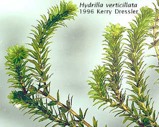 Hydrilla-verticillata