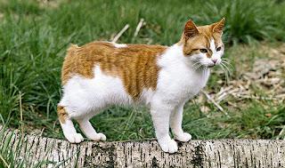 Một chú mèo Manx trắng vàng.